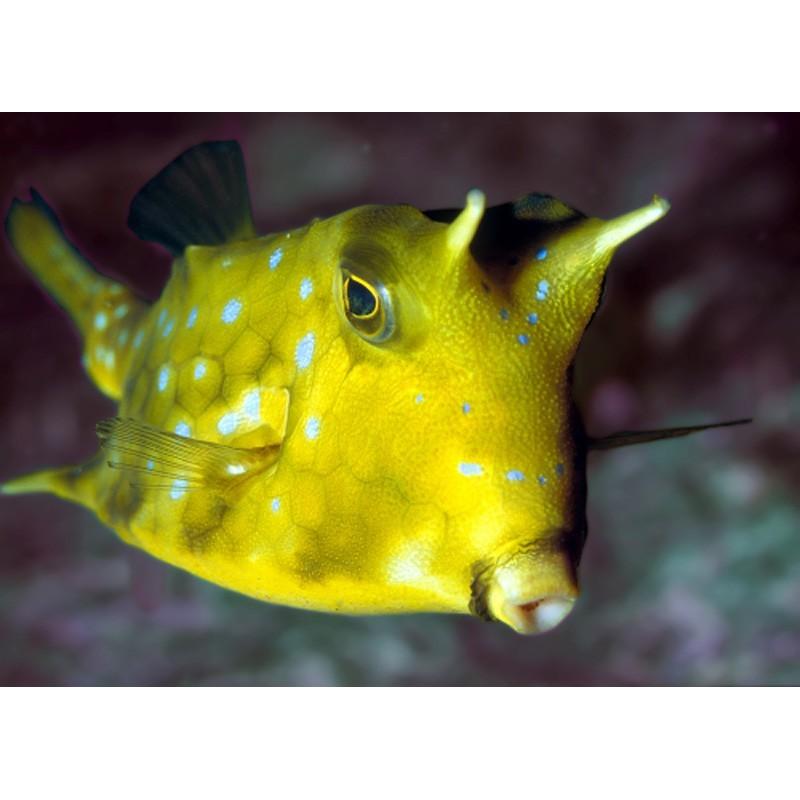 billet aquarium de malo adulte